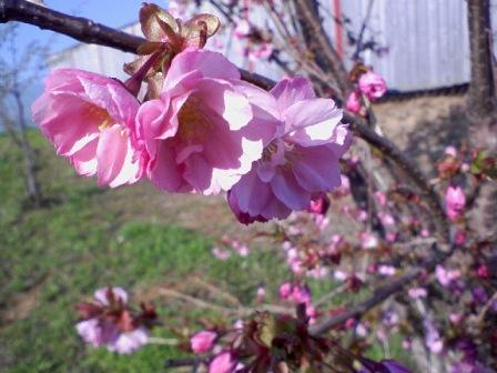 桜2011の2