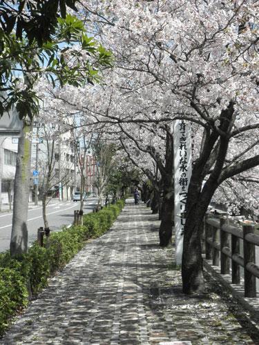 水門川桜並木
