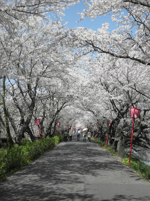 犀川桜並木
