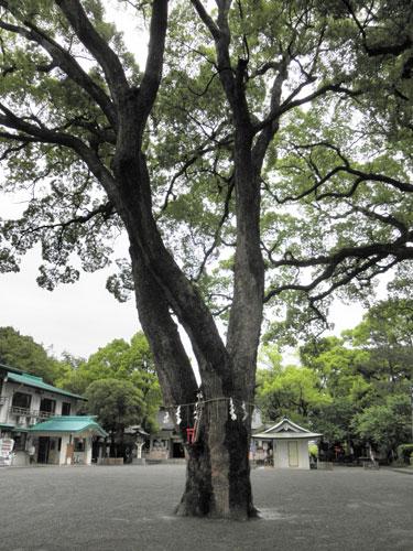 加藤神社の木