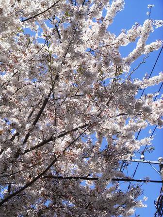 成城の桜2