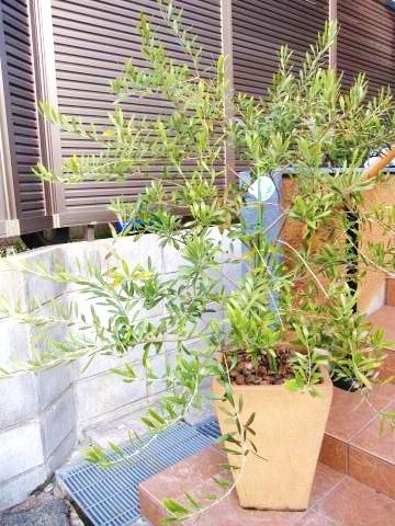 シンボルツリーオリーブ2
