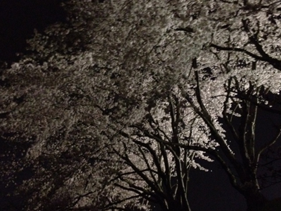 212410夜桜