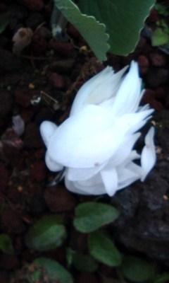 サンギナリアノの花の終わり