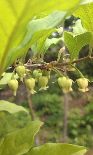 老爺柿(雄花)