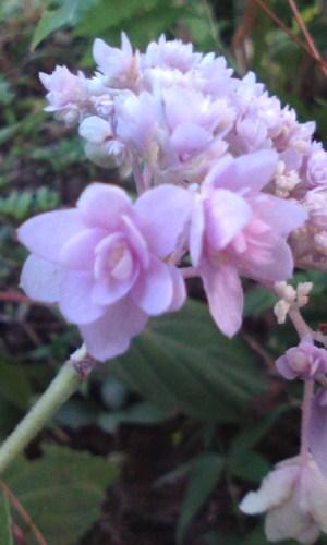 玉紫陽花(ピンク)