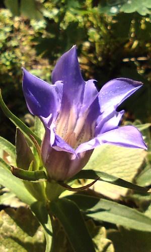 ササバリンドウ