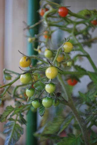 DSC_0112-tomato.jpg