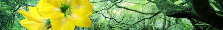 黄色いアマリリスと森.jpg