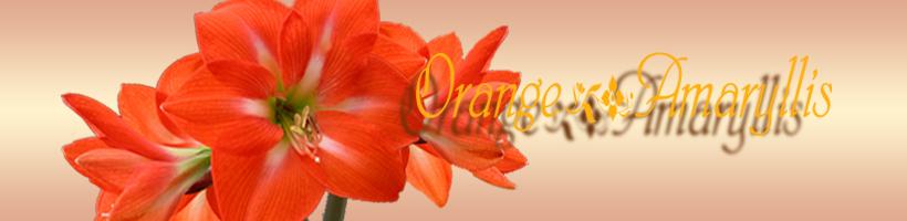 オレンジアマリリス.jpg-1.jpg