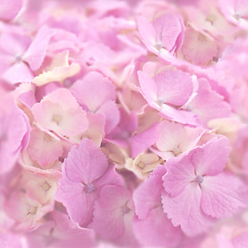 紫陽花ーピンク.jpg