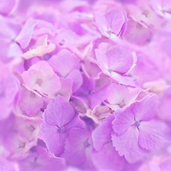 紫陽花ーパープル.jpg