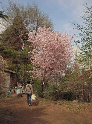 4/17 御殿場桜  かたくりの里