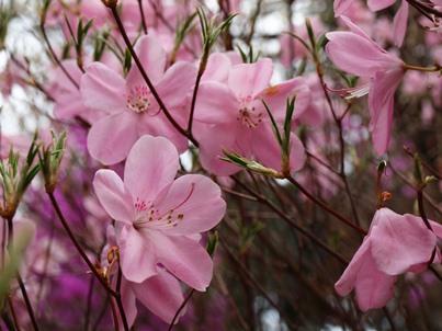 4/17 アカヤシオツツジ かたくりの里