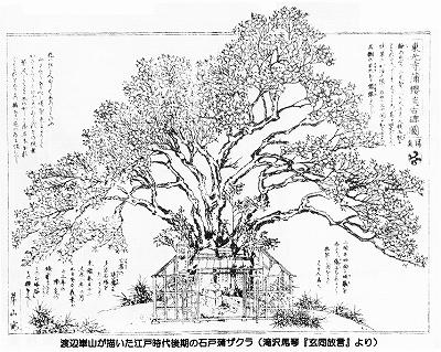 渡辺崋山-蒲桜