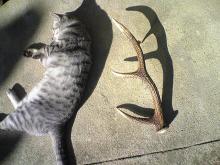 愛する猫ちんと船釣りと観光地めぐり-鹿の角