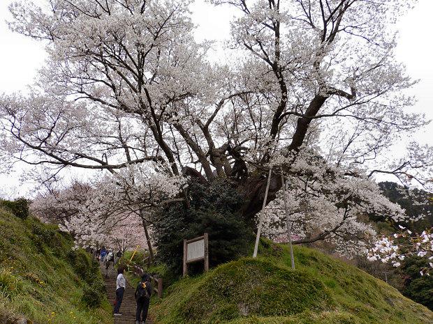 愛する猫ちんと船釣りと観光地めぐり-佛隆寺の桜