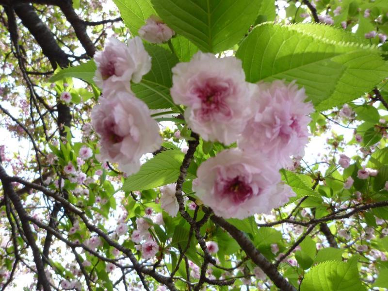 愛する猫ちんと船釣りと観光地めぐり-兼六園菊桜