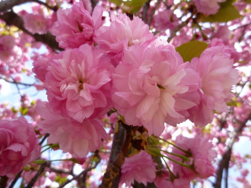 愛する猫ちんと船釣りと観光地めぐり-桜