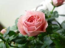 愛する猫ちんと船釣りと観光地めぐり-薔薇
