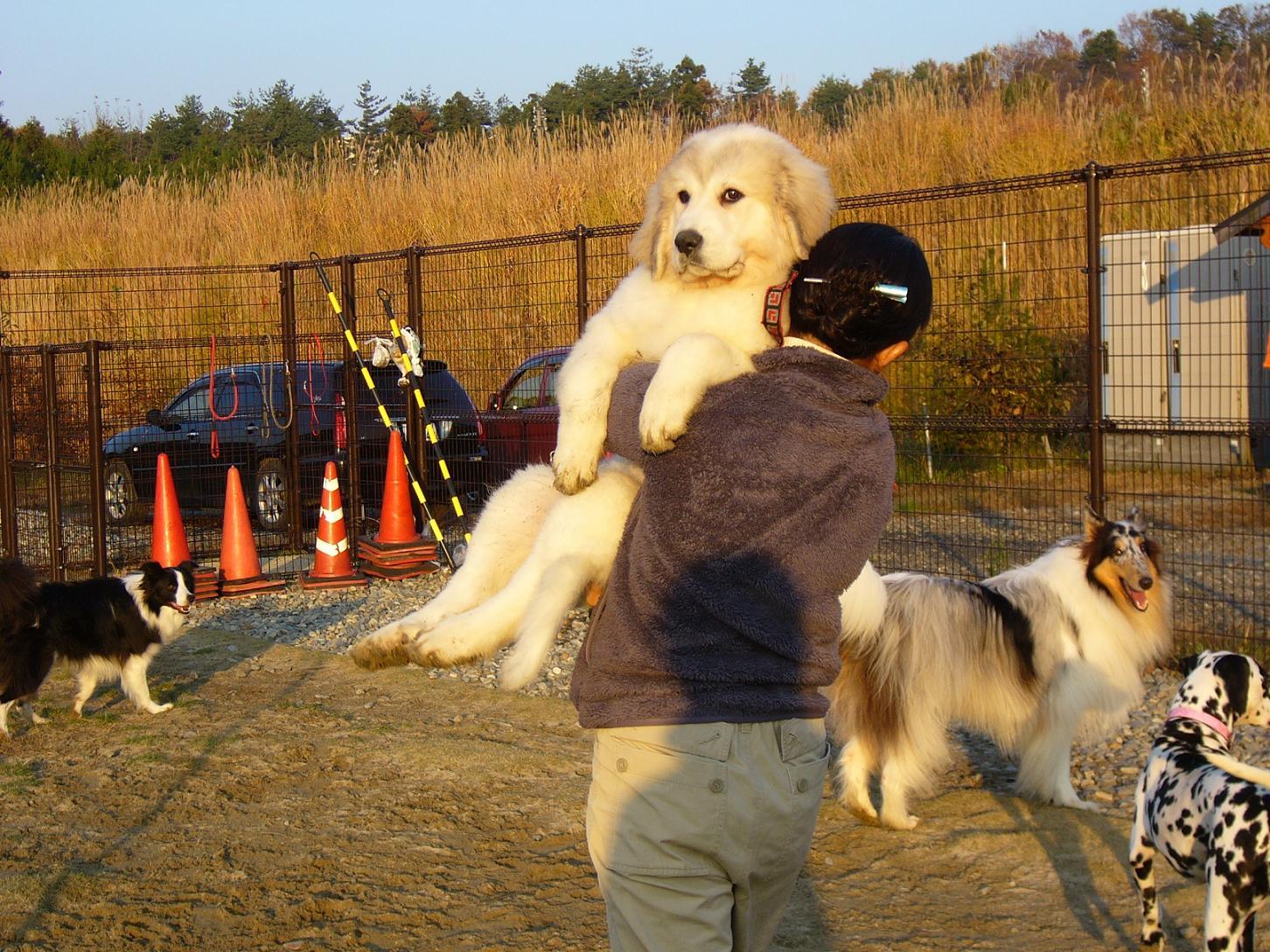 抱っこされている犬はグレートピレニーズの仔犬で 生後3ヶ月 体重