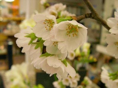 ウエノの桜