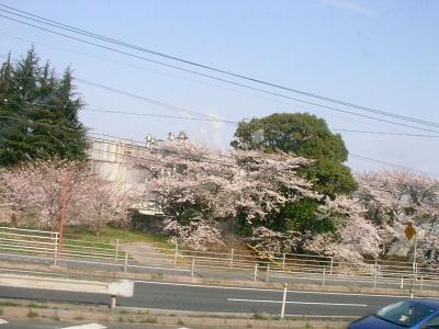 車窓の桜2