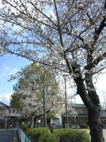 桜 0406