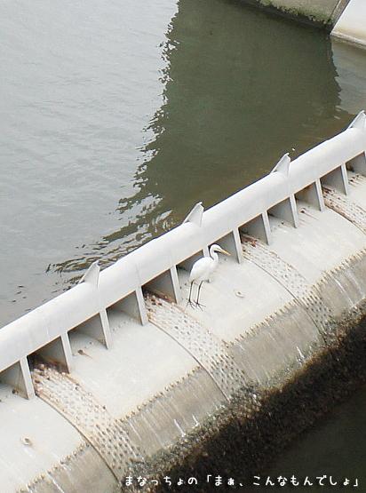 江戸川の白鷺