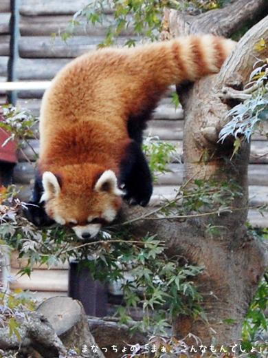 市川市動植物園_レッサーパンダ