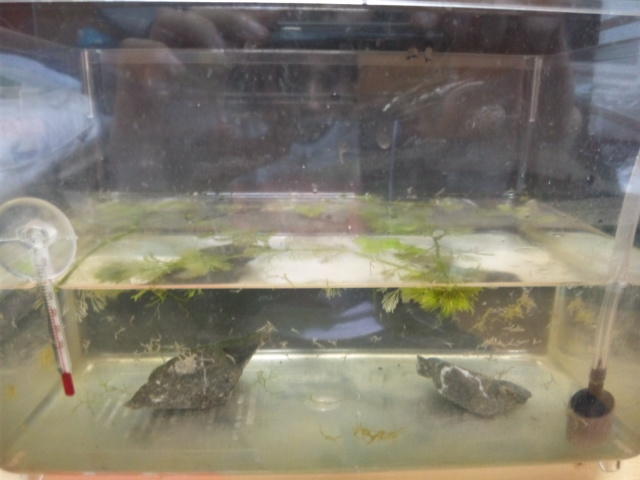 ヤマトヌマエビ抱卵2