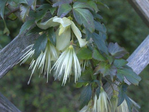 冬に咲くクレマチス