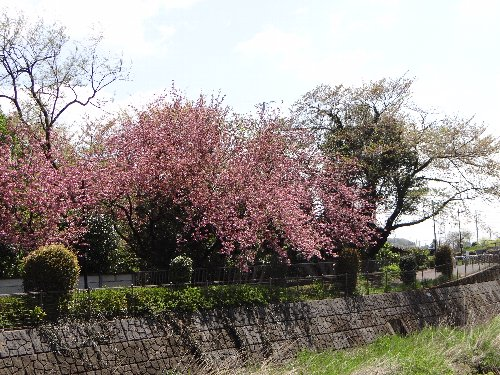 120426 八重桜