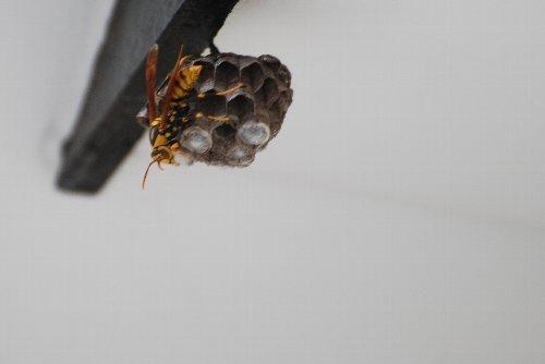 120628 d セグロアシナガ蜂 巣