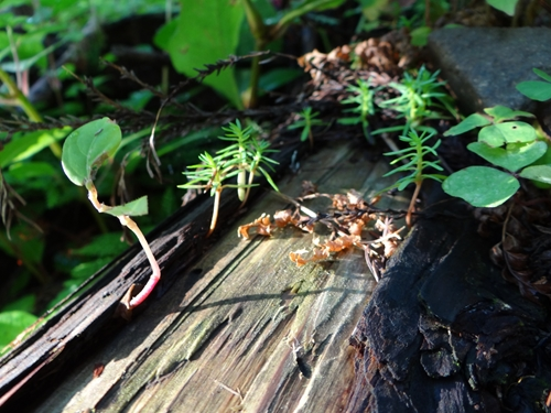6 花粉の素の木の素