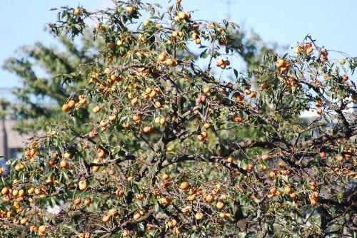 121009 a柿
