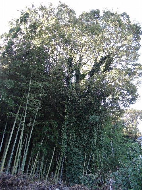 121121 dケヤキと竹