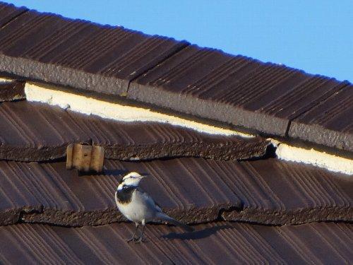 121124 c屋根上のハクセキレイ