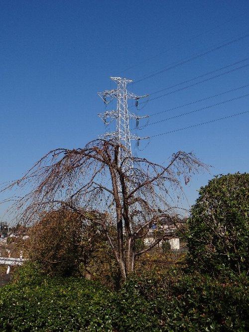 121207 a枝垂れ桜