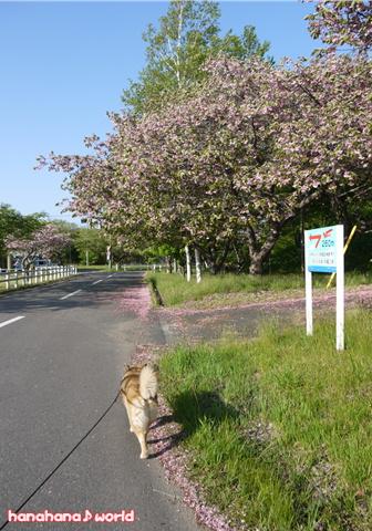 ピンクの道~♪