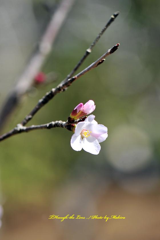 武甲豆桜(ブコウマメザクラ)1