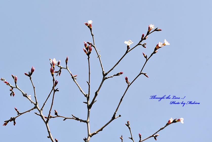 武甲豆桜(ブコウマメザクラ)