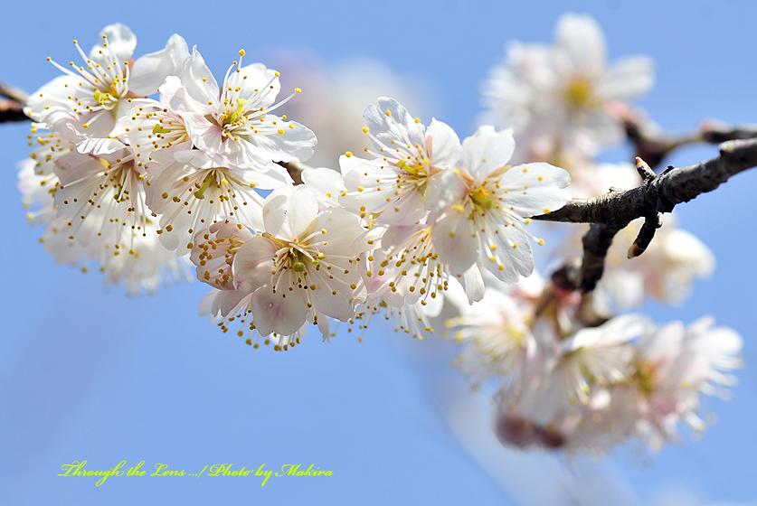 シナミザクラ暖地桜桃4