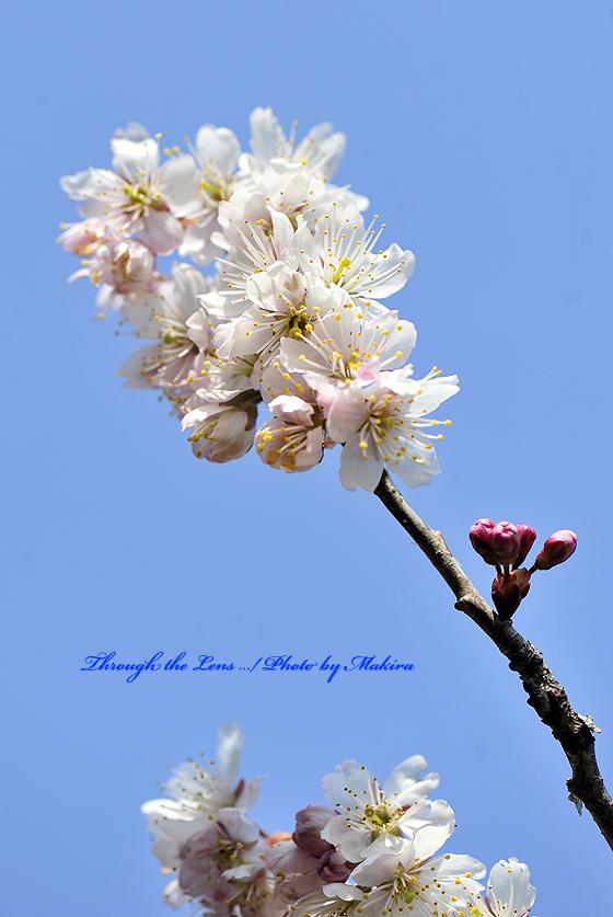 シナミザクラ暖地桜桃3
