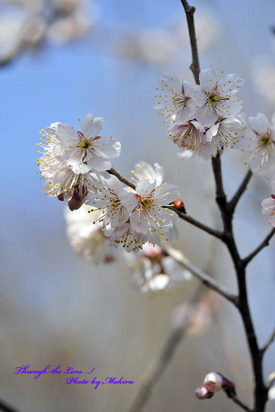 シナミザクラ暖地桜桃2