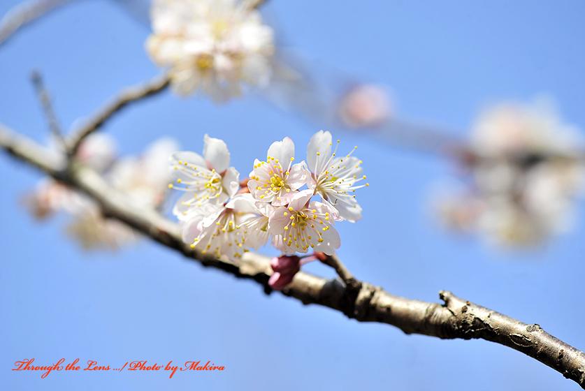 シナミザクラ暖地桜桃1