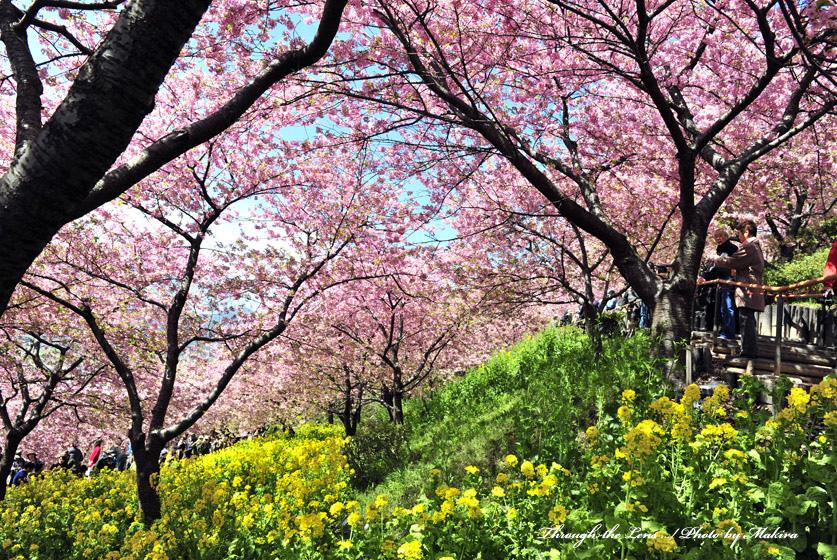 松田山河津桜