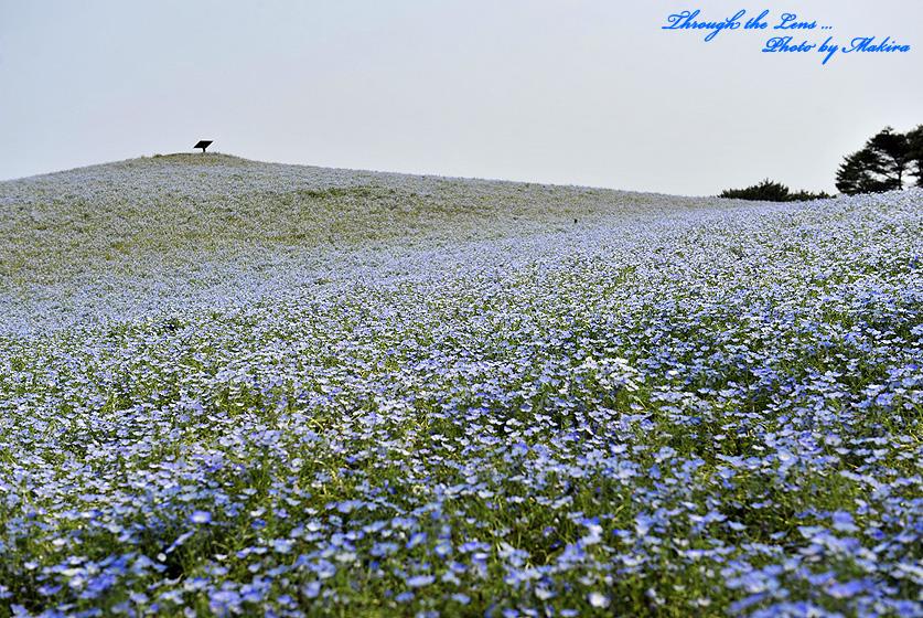 ネモフィラの丘3