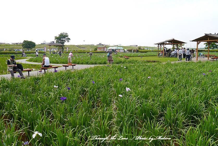 広い菖蒲園