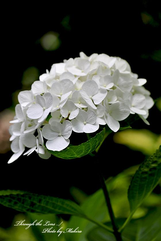アジサイ(ホワイトダイアモンド)3